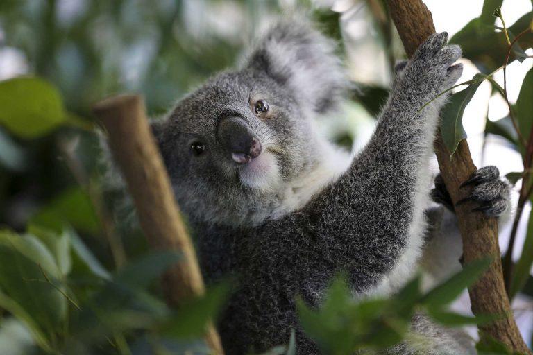 Australie – Voir des koalas à Brisbane
