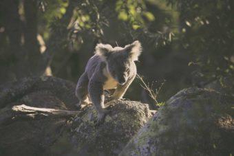 Magnetic Island: le meilleur endroit du Queensland pour voir des koalas